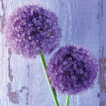 Paperproducts Design Servietten 33x33 Purple Allium